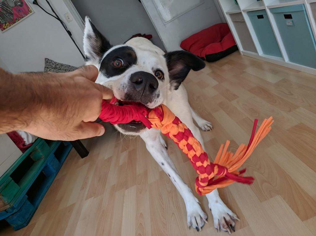 perro jugando con una cuerda en casa