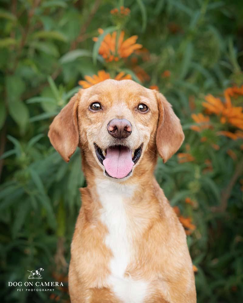 Perro marrón en Barcelona fotografiado por un fotógrafo canino