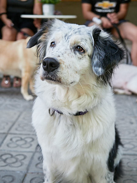 Border Collie en Cookona en Barcelona