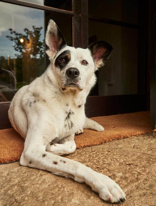 Perro blanco y negro en la entrada de Mas Els Plans durante San Juan