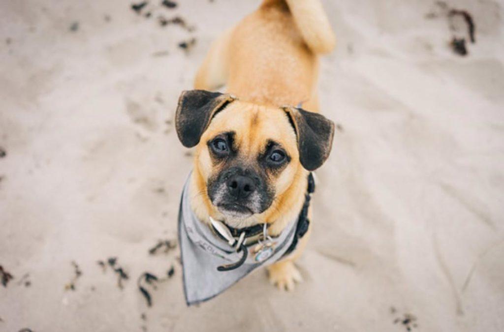 Perro marrón claro con orejas oscuras mirando arriba hacia la cámara en la plata que admite perros en Montgat Masnou
