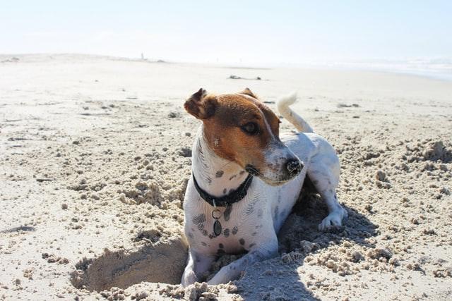 Perro blanco y marrón haciendo un hoyo en la arena en la playa para perros Conca en Malgrat de Mar
