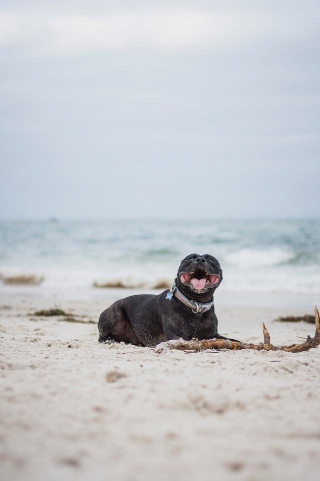 Rotweiller en una playa que admite perros, Punta del Riu, cerca de Tarragona