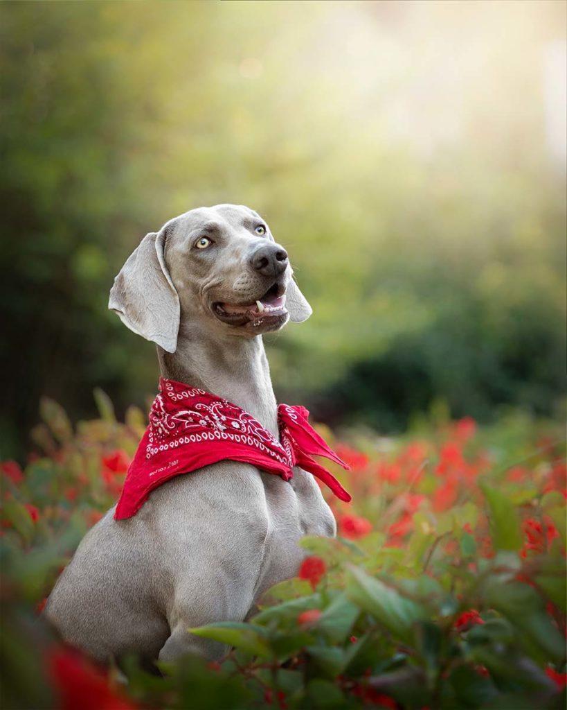Perro weimar con flores en Barcelona