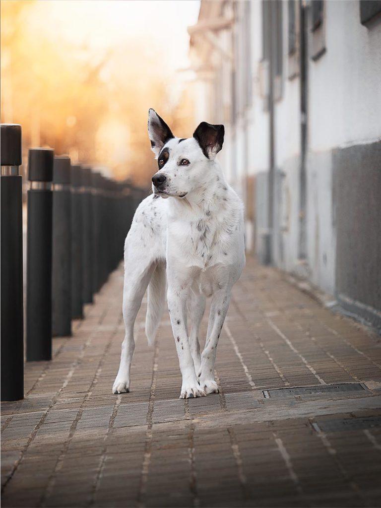 Perro mestizo blanco y negro fotografiado por un fotografo de perros en Barcelona