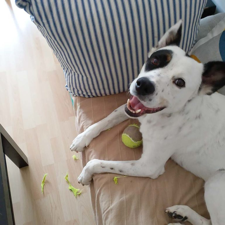Perro blanco y negro en el sofá destrozando una pelota de tenis