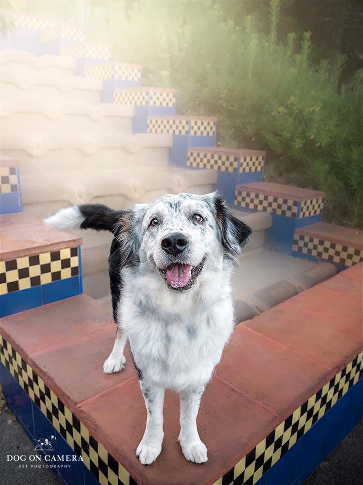Perro border collie en la escalera en Montjuic