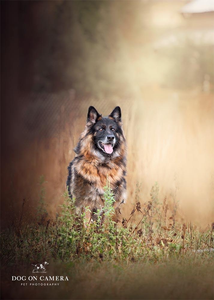 Pastor alemán fotografiado por un fotografo de perros en Barcelona