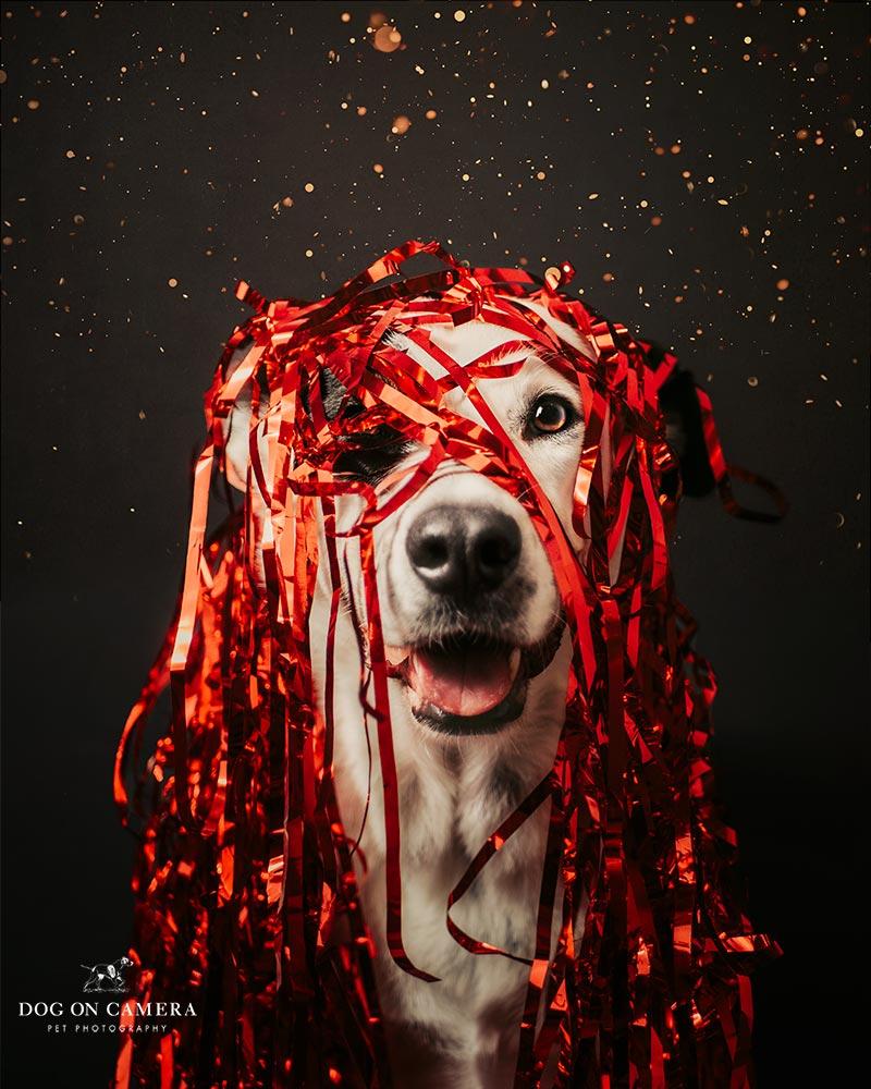 Fotos navideñas de perro en casa - perro con una guirnalda de navidad en la cabeza