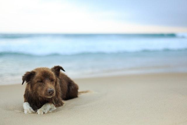 Perro marrón en la playa que permite perros, Rubina, cerca de Girona