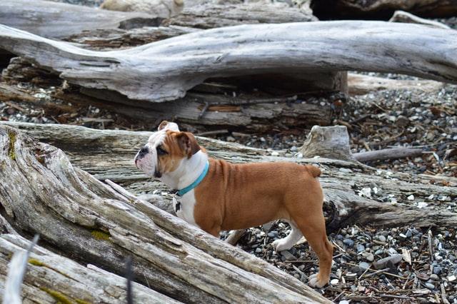Bulldog en la playa de perros Sant Jordi cerca de Girona