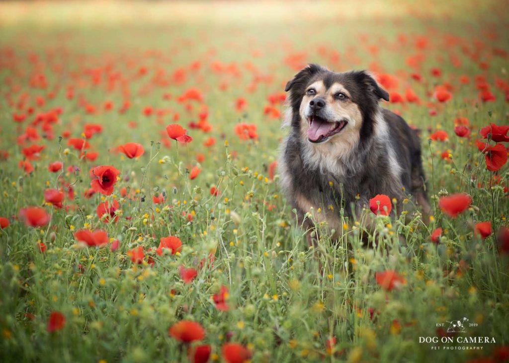 Reportaje fotográfico de un perro en el campo de amapolas cerca de Barcelona