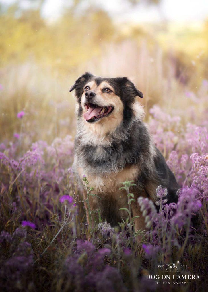 Una perra posando en el campo de flores moradas en Cataluña, cerca de Barcelona