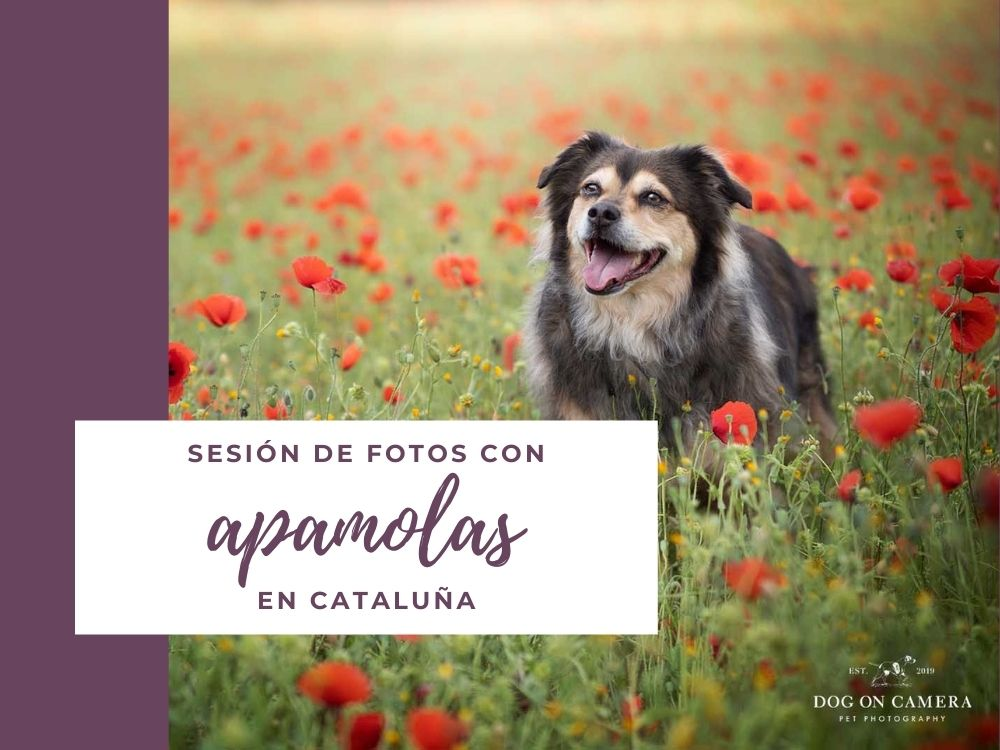 Reportaje fotográfico de un perro en el campo de amapolas cerca de Barcelona - behind the scenes