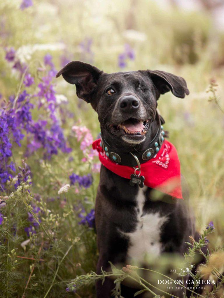 Perro negro con una bandana roja en un campo de flores en Barcelona