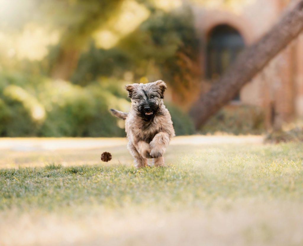 Un cachorro de pastor catalán corriendo en Barcelona
