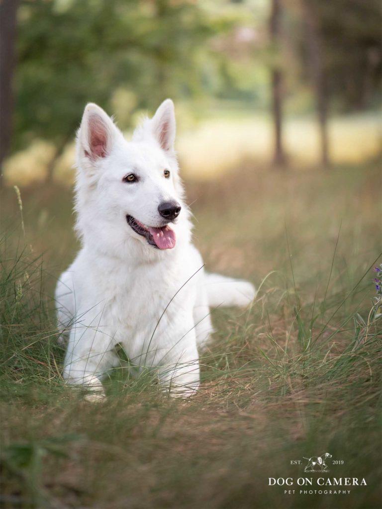 Perro pastor blanco suizo en un bosque cerca de Barcelona